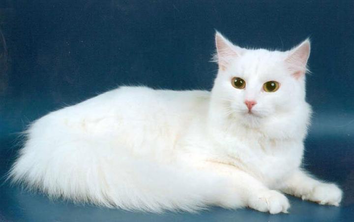 кошки с жёлтыми глазами